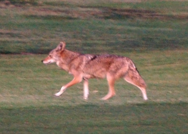 Coyote1