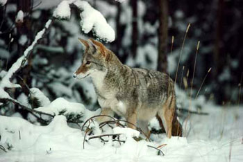 Coyotesnow